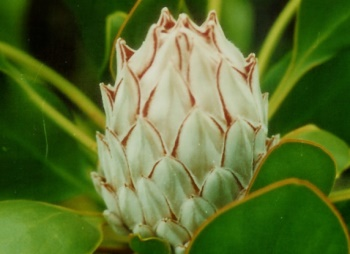 Protea Snowball flower