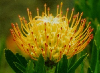 Protea Sunburst flower